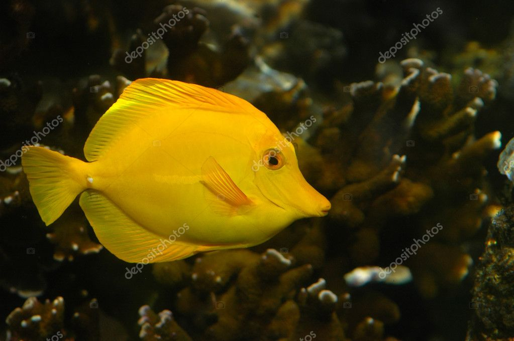 Bright yellow tropical fish stock photo mrdoomits 3068833 for Yellow tropical fish