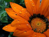 Water on a Bright Orange Flower — Stock Photo
