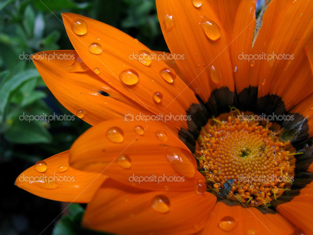 Water on a Bright Orange Flower — Stock © mrdoomits