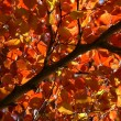 Canopy pf Fall Leaves — Stock Photo