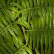 Green ferns — Stock Photo
