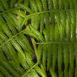 Stock Photo: Green ferns