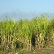 Sugar cane — Stock Photo #2716824