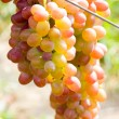 Grapevines — Stock Photo #2736211