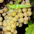 Grapevines — Stock Photo #2740487