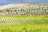 Vineyards in Spain — Stock Photo