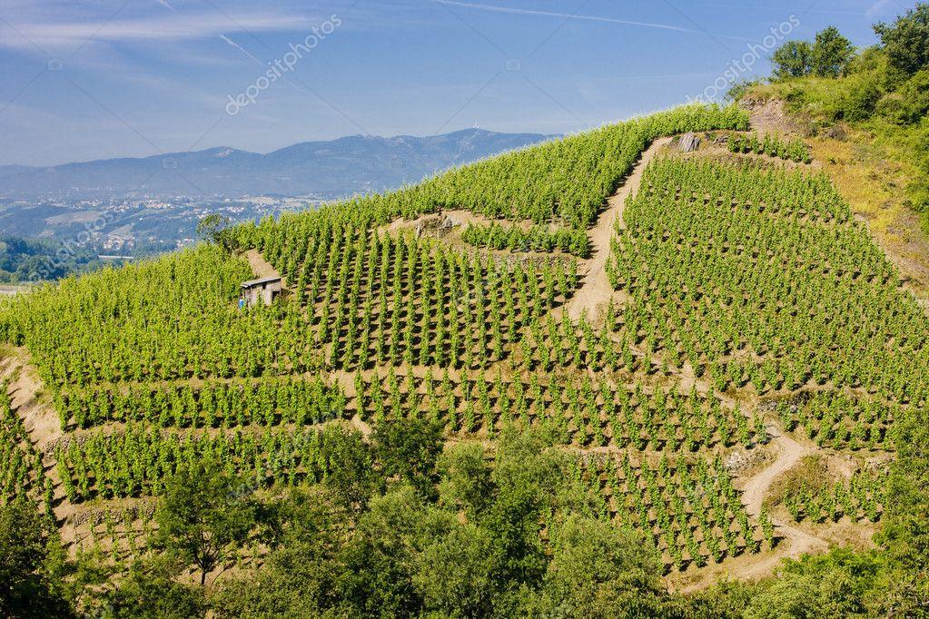 Vineyard in France � Stock Photo � phb.cz #2776621