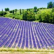 Lavender field - Foto Stock