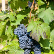Grapevines — Stock Photo #2820914