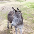 Stock Photo: Donkey