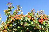 Apricots — Stock Photo