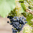 Stock Photo: Grapevines