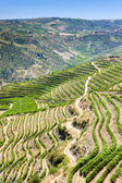 Vineyards in Douro — Stock Photo