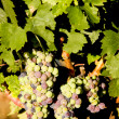 Grapevines — Stock Photo #2937496