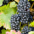 Grapevines — Stock Photo #2950990