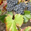Grapevines — Stock Photo #2951006