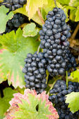 Grapevines — Stock Photo
