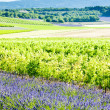 Lavender field with vineyards - Stock Photo