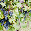 Grapevines — Stock Photo #2963878