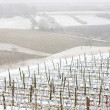 Winter vineyards — Stock Photo