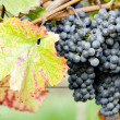 Grapevines — Stock Photo #2975953