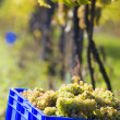 Wine harvest — Stock Photo