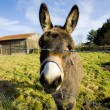 Royalty-Free Stock Photo: Donkey