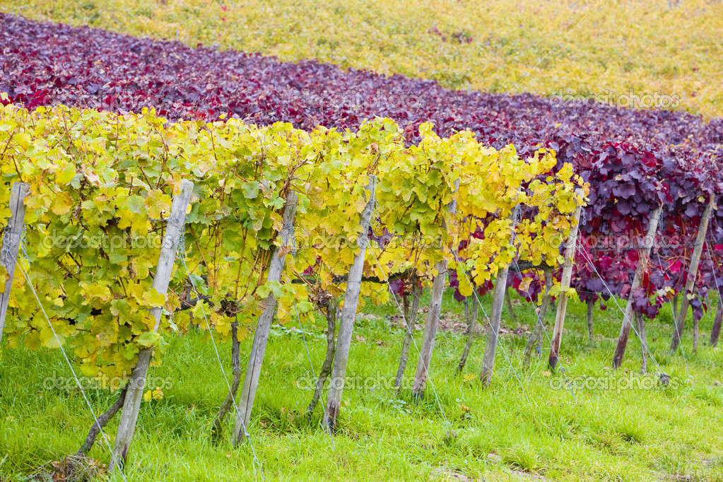 Vineyards near Johannisberg Palace, Hessen, Germany — Stock Photo #3038897