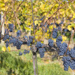 Grapevines — Stock Photo #3062819
