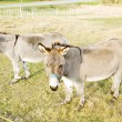 Stock Photo: Donkeys