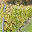 Vineyard in Germany - Foto Stock