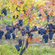 Grapevines — Stock Photo #3252313