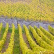 Vineyards in Germany — Stock Photo #3258059