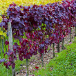 Vineyards in Germany — Stock Photo #3313947