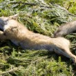 Stock Photo: Dead fox