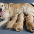 Golden retriever — Stock Photo #3373550