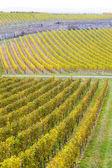 Vineyards in Germany — Stock Photo