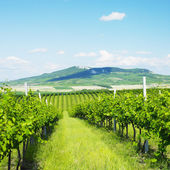 Vineyards in Czech Republic — Stock Photo