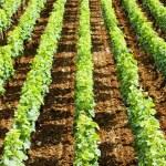 ������, ������: Vineyards in Burgundy