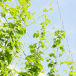 Hops garden — Stock Photo