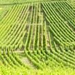Vineyards in France - Stock Photo