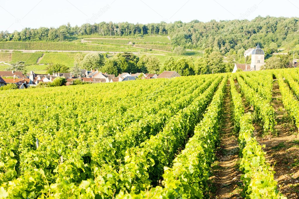 Vineyards near Gevrey-Chambertin, Cote de Nuits, Burgundy, France  Stock Photo #3476827