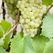Grapevines — Stock Photo #3487680
