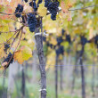 Grapevines in vineyard — Stock Photo #3488994
