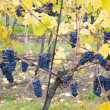 Grapevines in vineyard — Stock Photo #3489004
