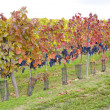 Stock Photo: Vineyard in Czech Republic