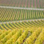 Vineyard in Germany — Stock Photo #3489122