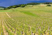 Vineyards in Burgundy — Stock Photo