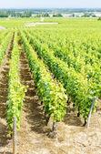 Grand cru vineyard near Fixin — Stock Photo
