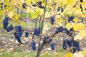 Grapevines in vineyard — Stock Photo